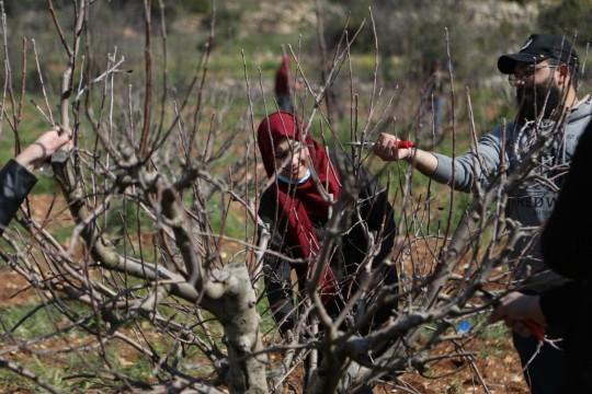 بدء موسم تنقيب الاشجار في فلسطين