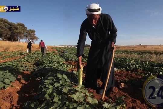 حصاد الفقوس او القثاء في مدينة الخليل