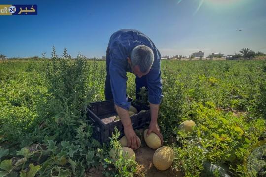 قطف الشمام من قطاع غزة