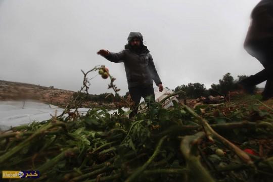 تدمير 4200 شتلة بندورة جراء المنخفض الجوي في يطا