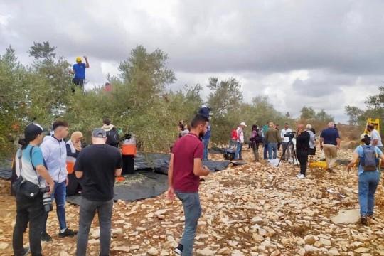 عشرات المواطنين يشاركون في يوم تطوعي لقطف الزيتون غرب سلفيت