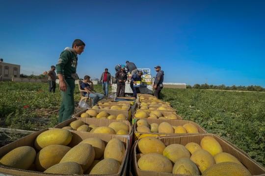"""صور .. بدء موسم قطف ثمرة الشمام أو """"البطيخ الأصفر"""" في قطاع غزة"""