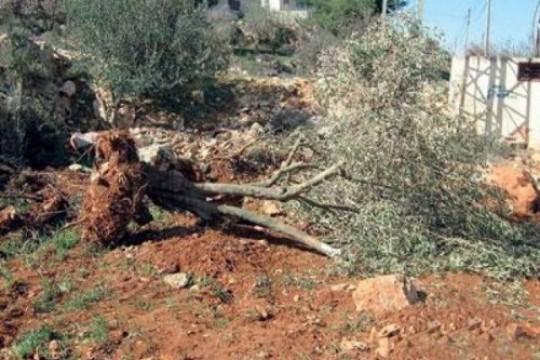 مستوطنون يقتلعون 130 شجرة زيتون في بلدة قصرة جنوب نابلس