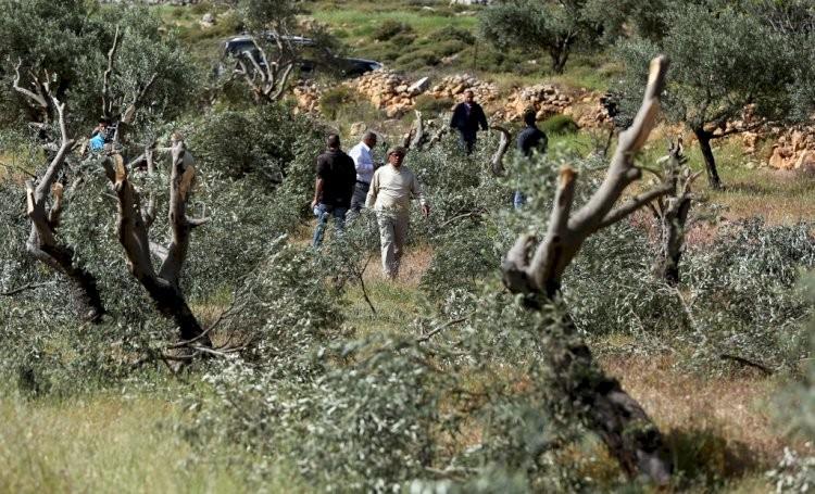 مستوطنون يقتلعون عشرات أشجار الزيتون ويشقون طريقا استيطانية شمال غرب نابلس