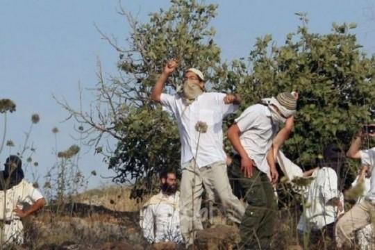 مستوطنون يهاجمون قاطفي الزيتون في نحالين غرب بيت لحم