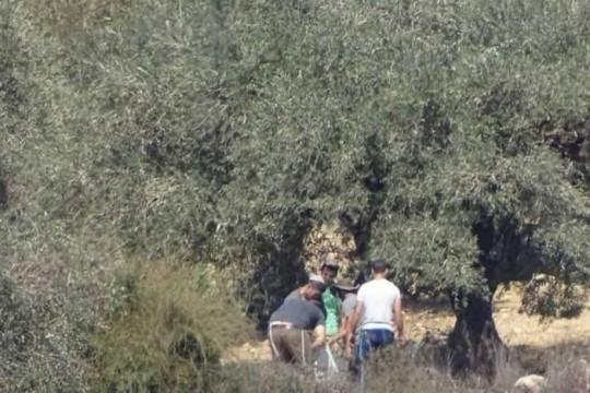 مستوطنون يسرقون ثمار زيتون ومعدات زراعية من أراضي قريوت جنوب نابلس