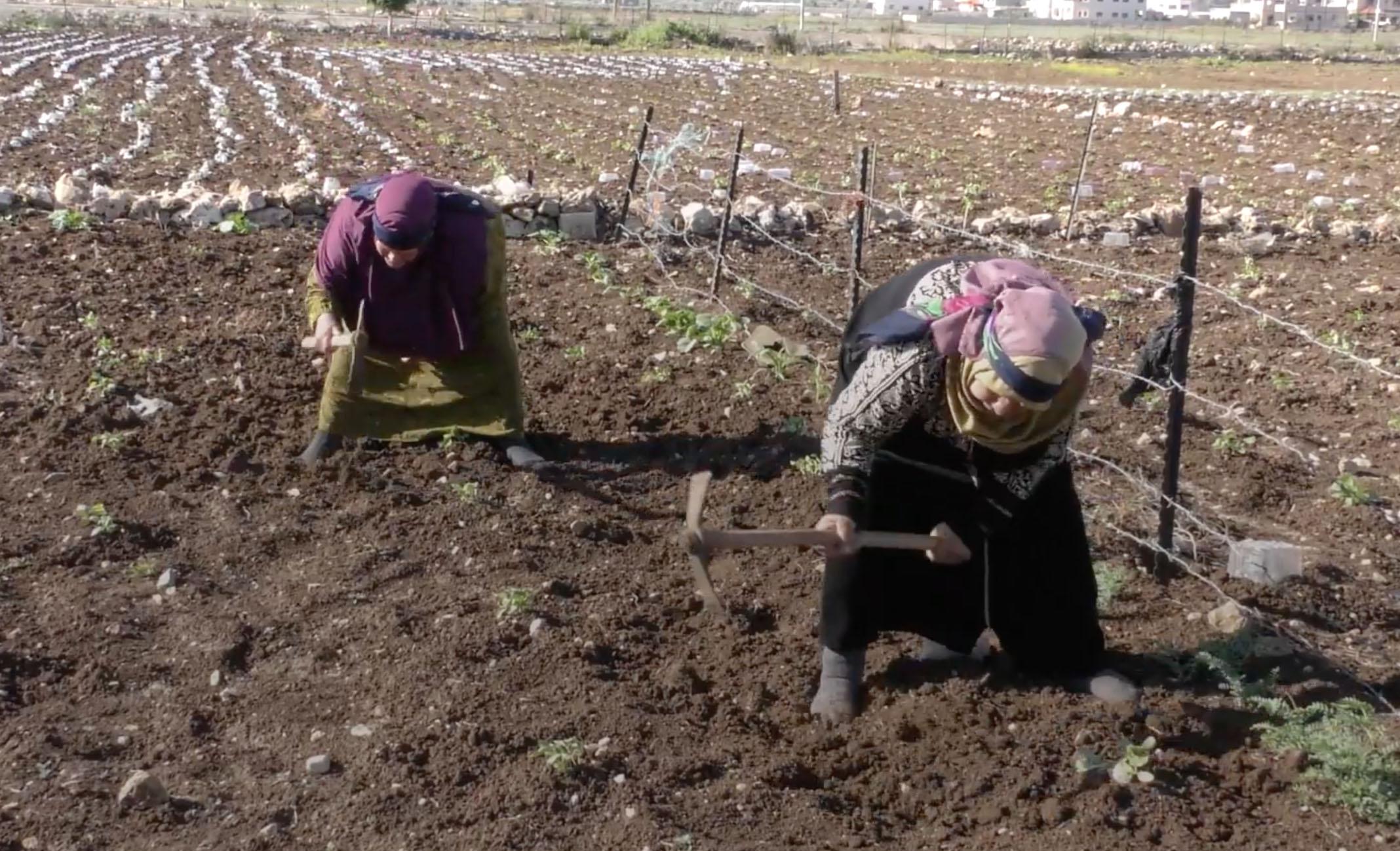 نساء أحببن الأرض وقلعن أعين الاحتلال الذي ينظر إليها عبر زراعتها والاهتمام بها