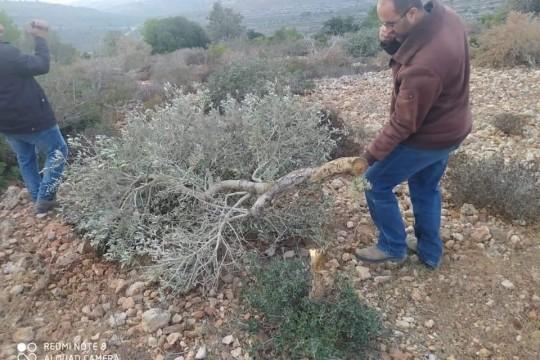 """مستوطنون يقتلعون 250 شجرة زيتون من أراضي """"المزرعة الغربية"""" شمال رام الله"""
