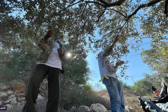 """بالصور.. حملة """"باقون ما بقي الزعتر والزيتون"""" تستهدف الأراضي المهددة في بيت لحم"""
